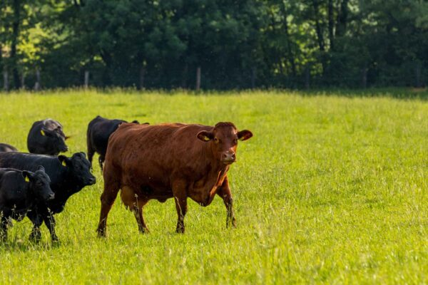 group of brown and black cattle walking outside in grass