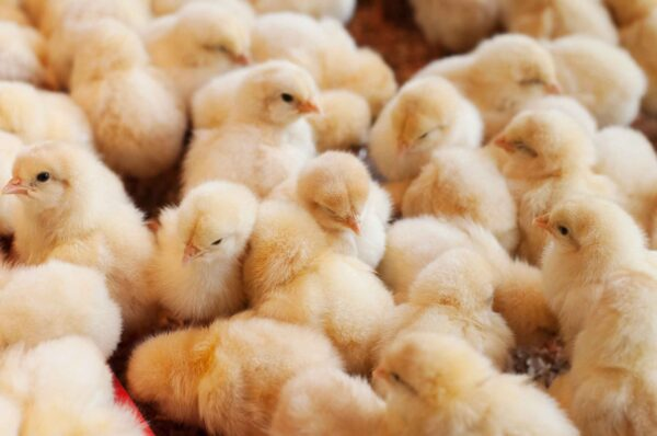 group of golden yellow baby chicks