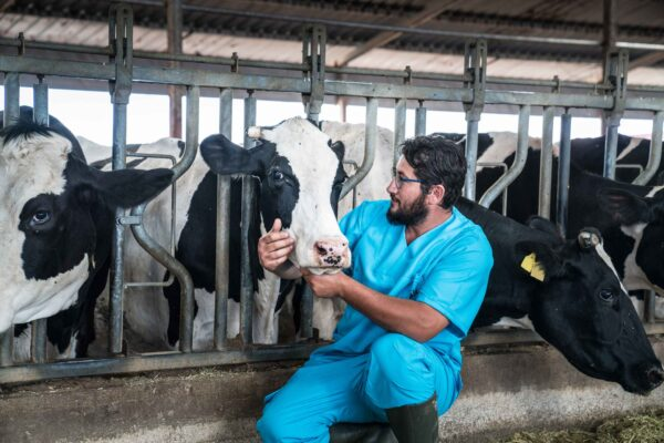 veterinarian kneeling with group of dairy cows